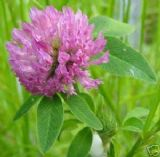 Red Clover 500 seeds - FREE POST